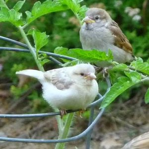 albino-house-sparrow