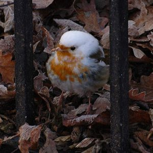 albino-robin