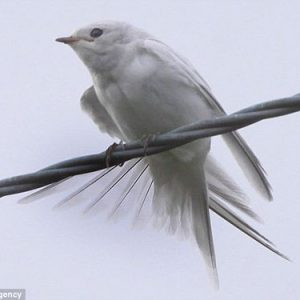 albino-swallow