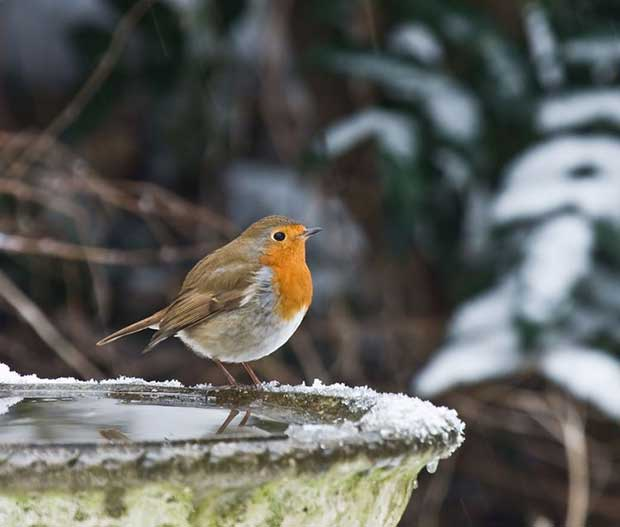 Robin On A Bird Bath