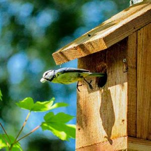 Blue Tit Flying Out Of A Bird Box