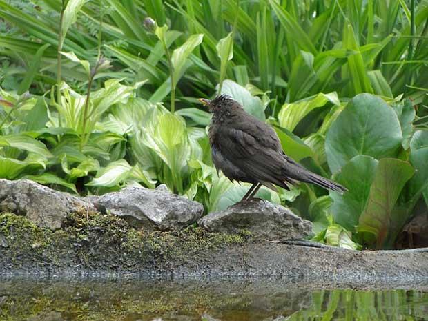 Blackbird On A Pond