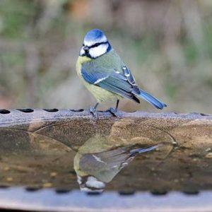 Blue Tit On A Bird Bath