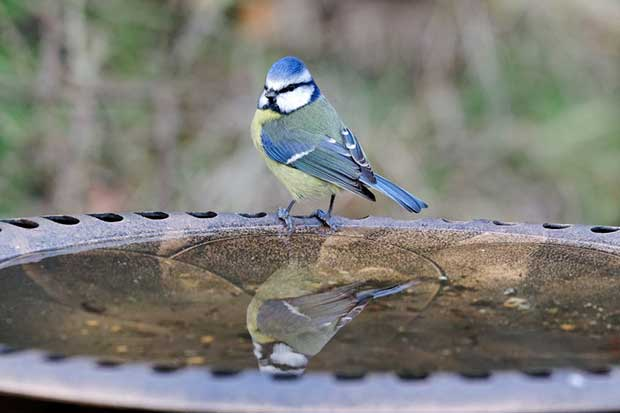 Blue Tit On A Bird Bath