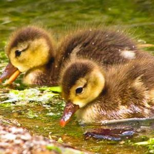 chicks14