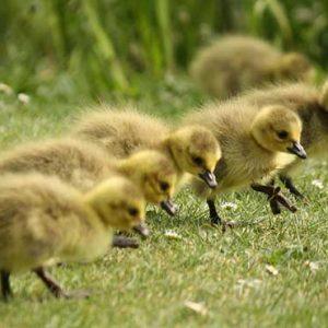 chicks15