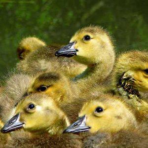 chicks16