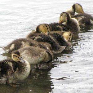chicks17