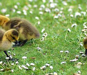 chicks18