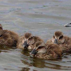 chicks7