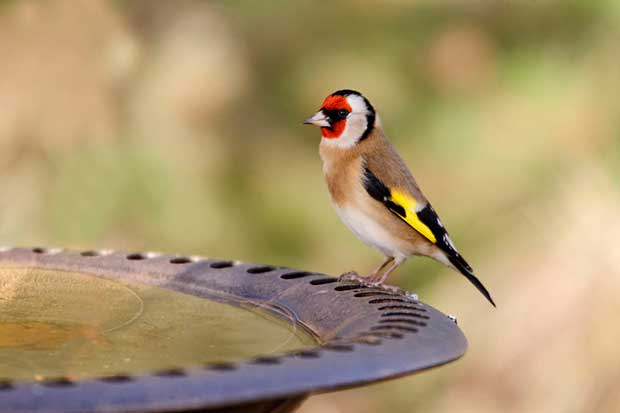 Goldfinch On Bird Bath