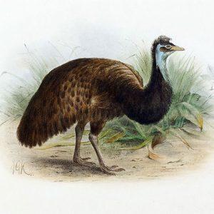 Kangaroo Island Emu