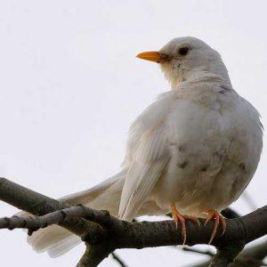 leucistic-blackbird