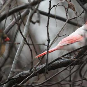 leucistic-cardinal