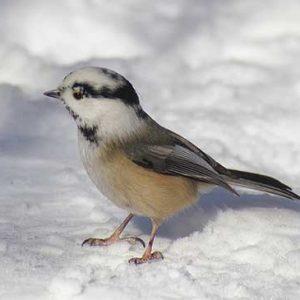 leucistic-chickadee