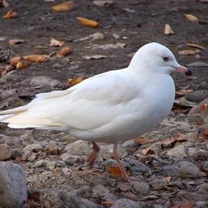 leucistic-ring-billed-gull