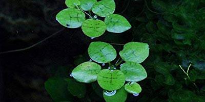 Limnobium Laevigatum Floating Plants