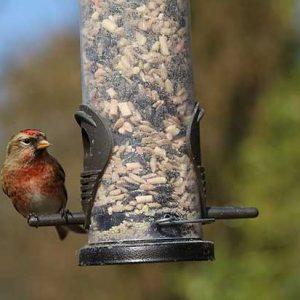 Linnet At A Bird Feeder