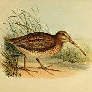 North Island Snipe