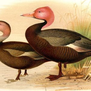 Pink Headed Duck