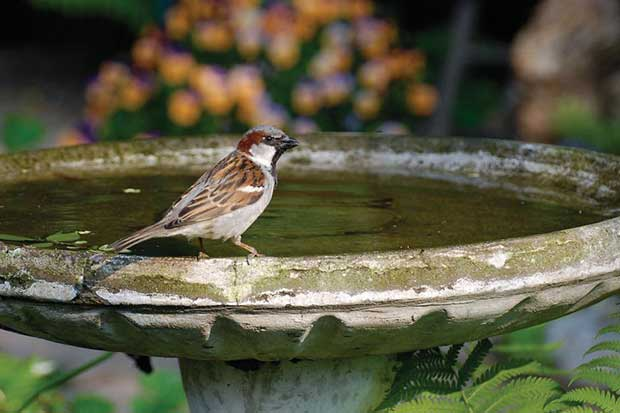 Sparrow On A Bird Bath