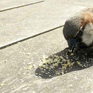Sparrow Eating Breadcrumbs