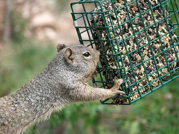 Squirrel Eating Bird Food