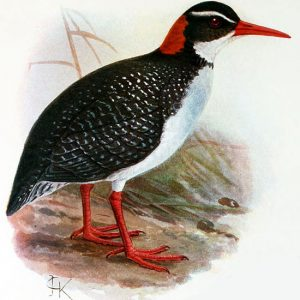 Tahti Red-Billed Rail