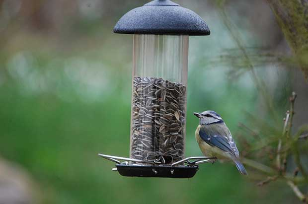 Blue Tit At Bird Feeder