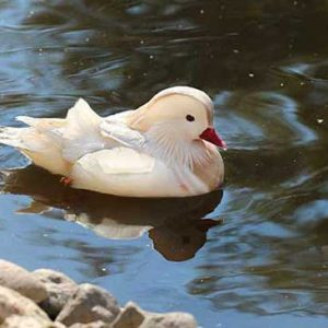 white-mandarin-duck