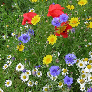 Annual Wildflower Seed Mixture