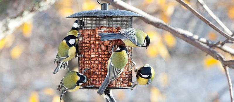 Great Tits On A Bird Feeder