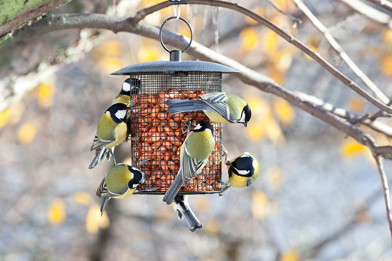 Great Tits At Bird Feeder