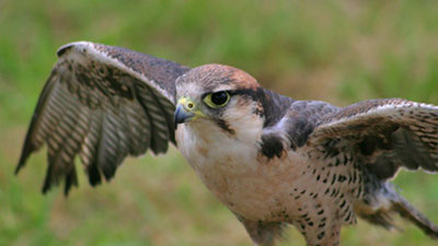 Birds Of Prey Experience In Gloucestershire