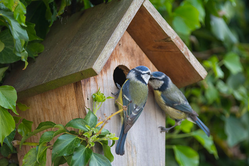 Blue Tits At Nest Box
