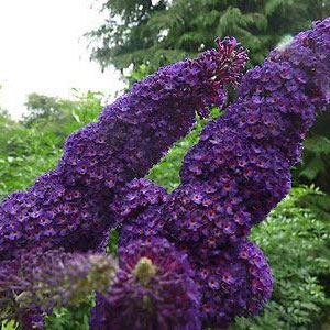 Buddleja Davidii 'Black Knight' Butterfly Bush
