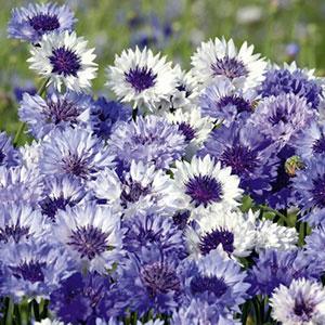 Cornflower Seeds