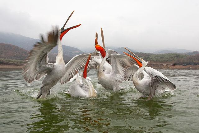 dalmatian-pelicans