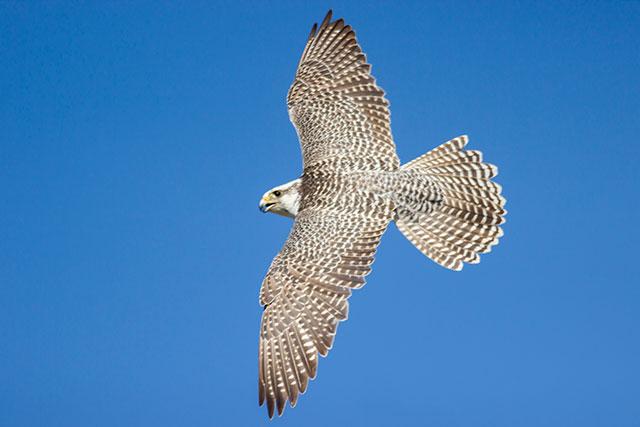 Icelandic Falcon