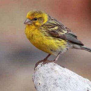 Island Canary