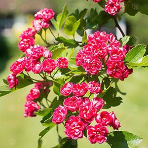 Paul's Scarlet Midland Hawthorn