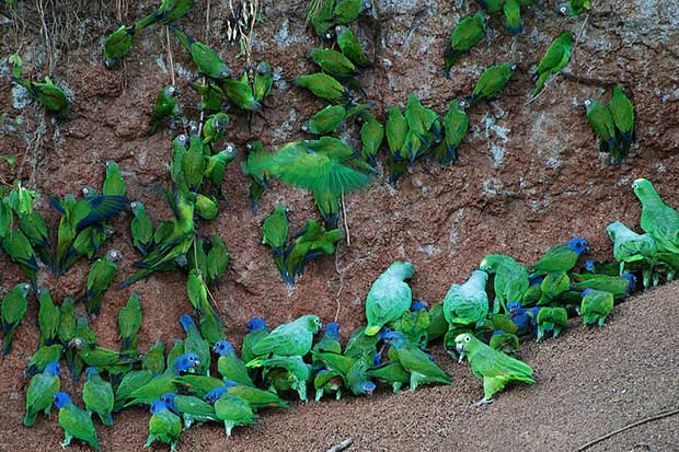 Yellow-Crowned Parrots