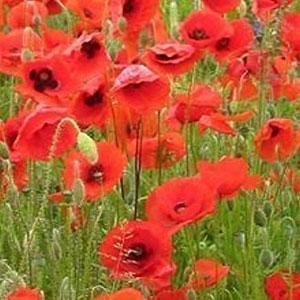 Field Poppy Seeds