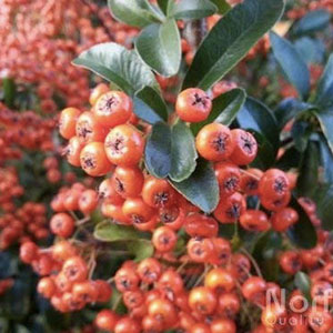 Pyracantha 'Saphyr Orange' Firethorn
