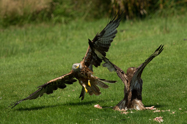 Red Kite Buzzard