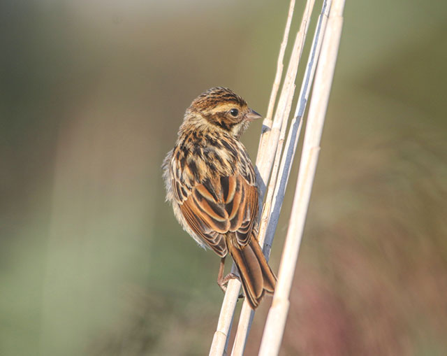 Reed Bunting Bird Identification Guide Bird Spot