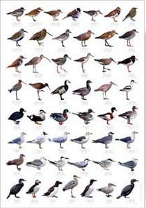 Shore Birds Chart