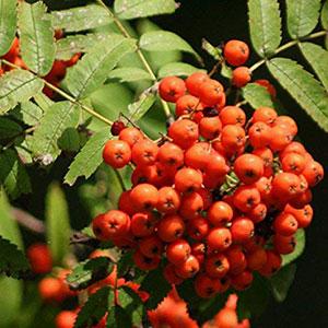 Sorbus Aucaparia Rowan