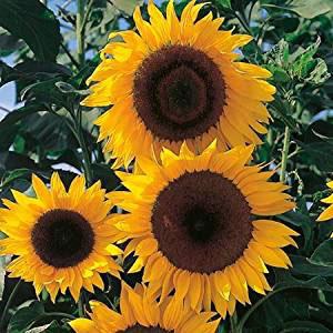 Sunflower Tall Yellow Seeds