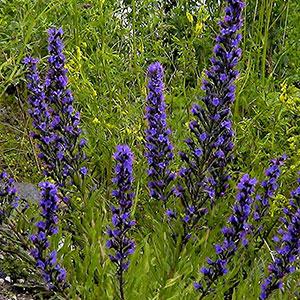 Viper's Bugloss Seeds